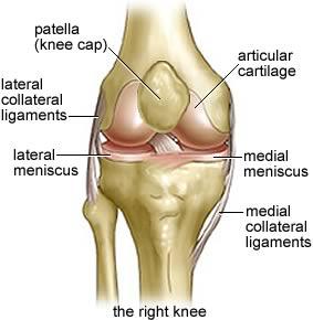 Seif knee anatomy01 1
